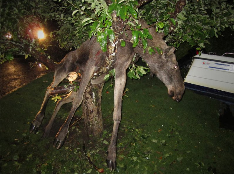 "{""author"":""Per%20Johansson/The%20Associated%20Press"",""link"":""http%3A//www.oregonlive.com/environment/index.ssf/2011/09/animal_nature_a_drunken_moose.html"",""descr"":""лось%20на%20дереве""}"